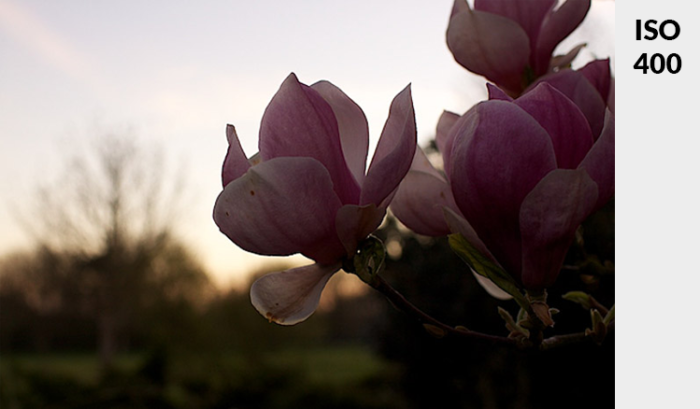 Photo of a pink flower in low light - demonstrating ideal exposure taken at ISO 400.